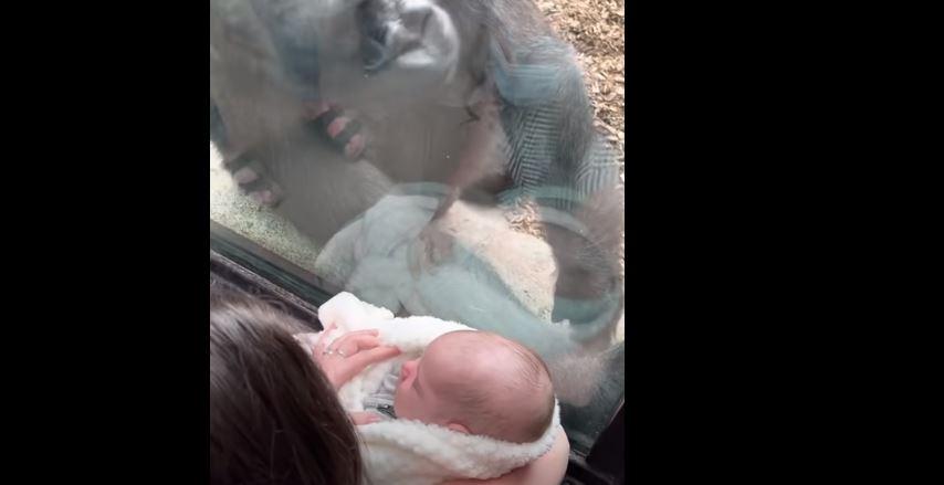 Γορίλλας σε ζωολογικό κήπο γοητεύεται από βρέφος