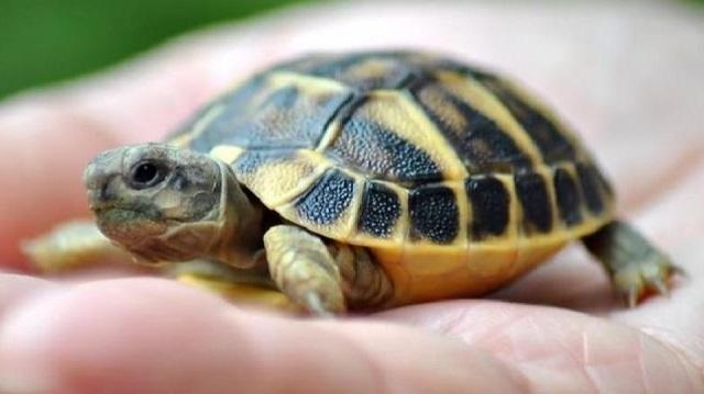 Κύπρος: «Μόδα» οι μπομπονιέρες με ζωντανά χελωνάκια!