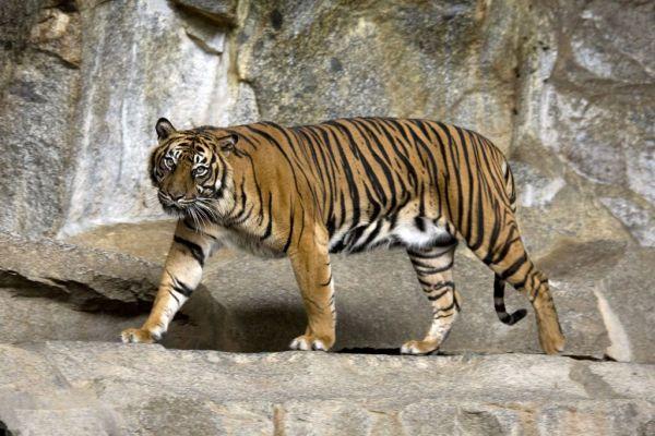 Ινδονησία: Δύο τίγρεις της Σουμάτρας προσβλήθηκαν από κοροναϊό σε ζωολογικό κήπο