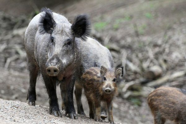 Οικογένεια αγριόχοιρων οργάνωσε επιχείρηση απόδρασης για δύο γουρουνάκια