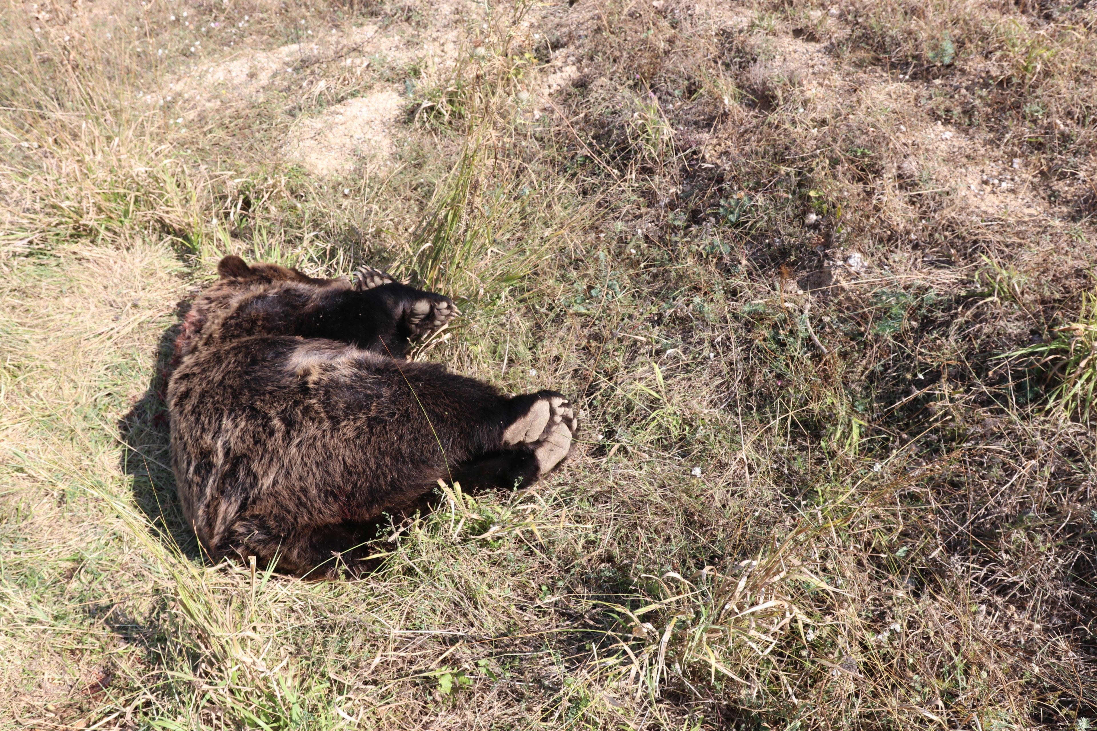 Φλώρινα: Νεκρή αρκούδα από πυροβολισμό στην Πρέσπα