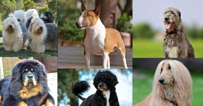 Οι 25 Πιο Ακριβές Ράτσες Σκύλων Στον Κόσμο