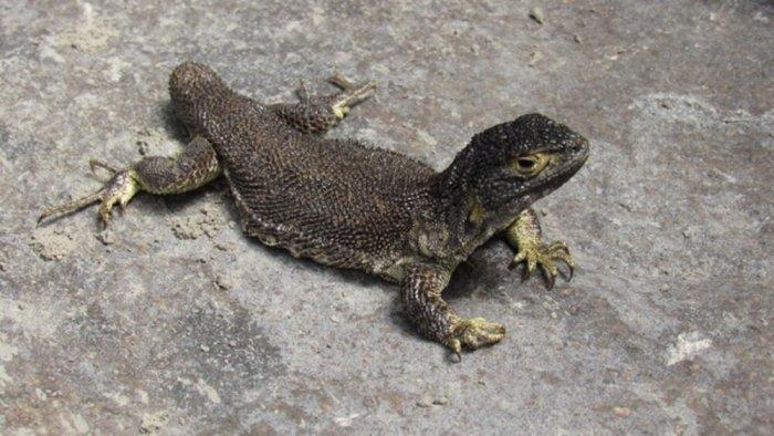 «Liolaemus warjantay»: Το νέο είδος σαύρας που ανακαλύφθηκε στο Περού