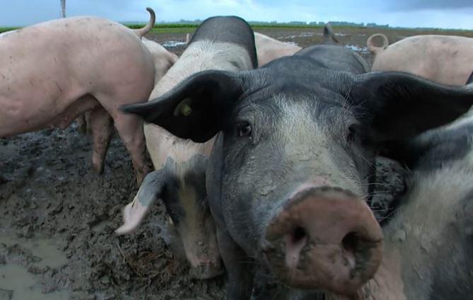 Πώς τα γουρούνια κρατούν ασφαλή τα αεροπλάνα στο αεροδρόμιο του Άμστερνταμ