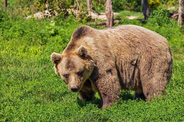 Επίθεση αρκούδας σε κυνηγό στην Κοζάνη