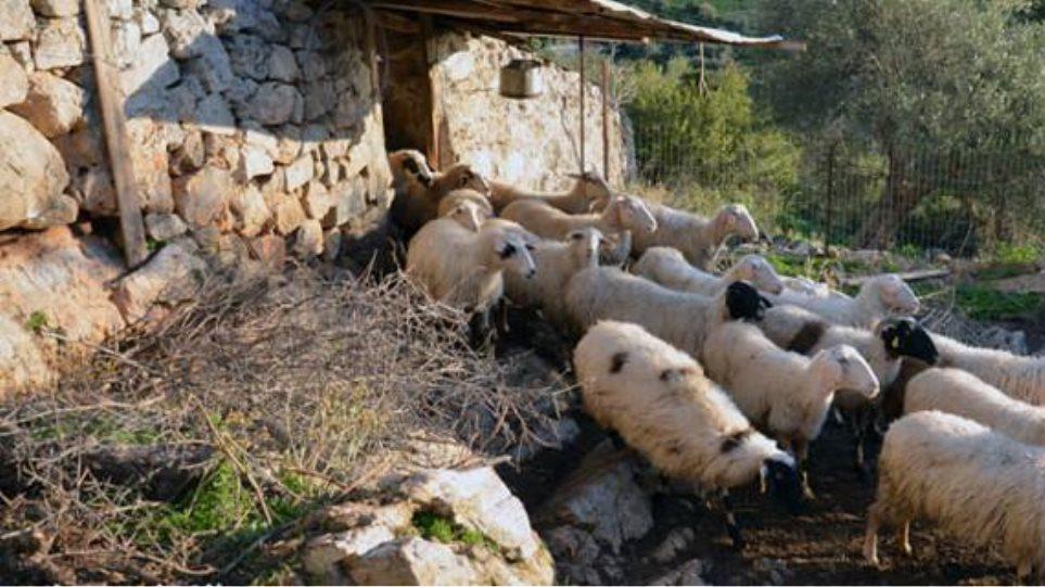 Επιδρομή σε κτηνοτροφικές μονάδες