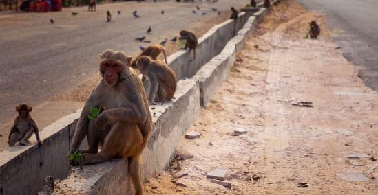 Ινδία: Μαϊμού πέταξε τούβλο από τον 2ο όροφο και σκότωσε άνδρα