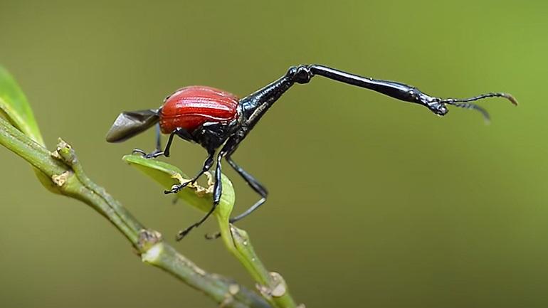 Σκαθάρι καμηλοπάρδαλη