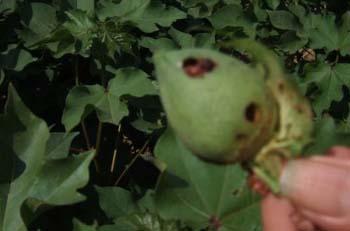 «Γρίφος» για παραγωγούς το πράσινο σκουλήκι