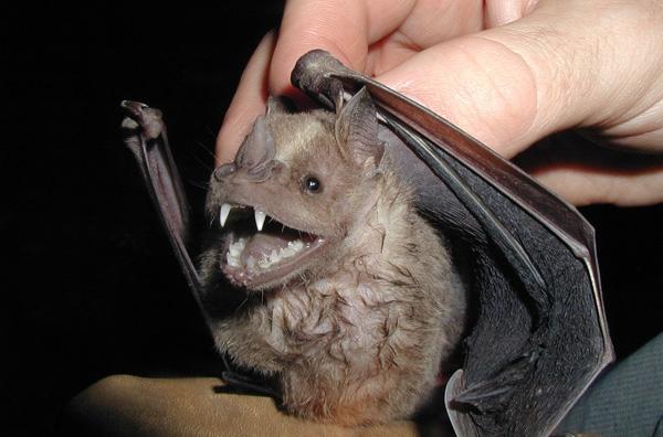 Νυχτερίδες μεταδίδουν θανατηφόρα ασθένεια